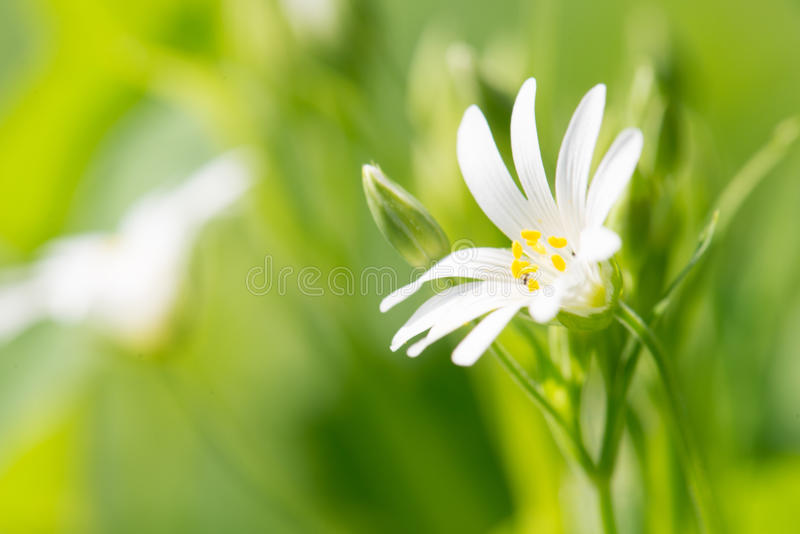 Forrest white flowers close up. On green blurred background royalty free stock image
