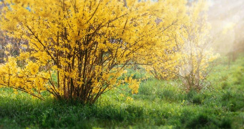 A forsítia floresce na frente com da grama verde e do céu azul fotografia de stock royalty free