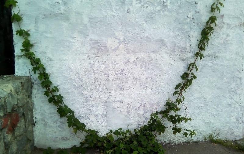 Forsar av lösa druvor mot en ljus målad vägg arkivbild