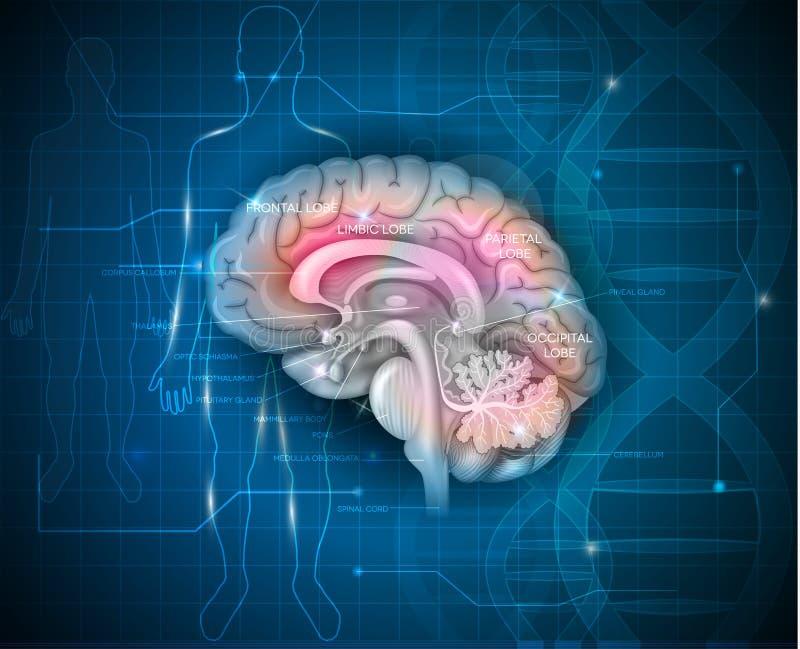 Forschung des menschlichen Gehirns stock abbildung