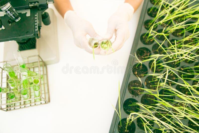 Forskare forskar korn förbättrade risvariationer i labbet royaltyfri fotografi