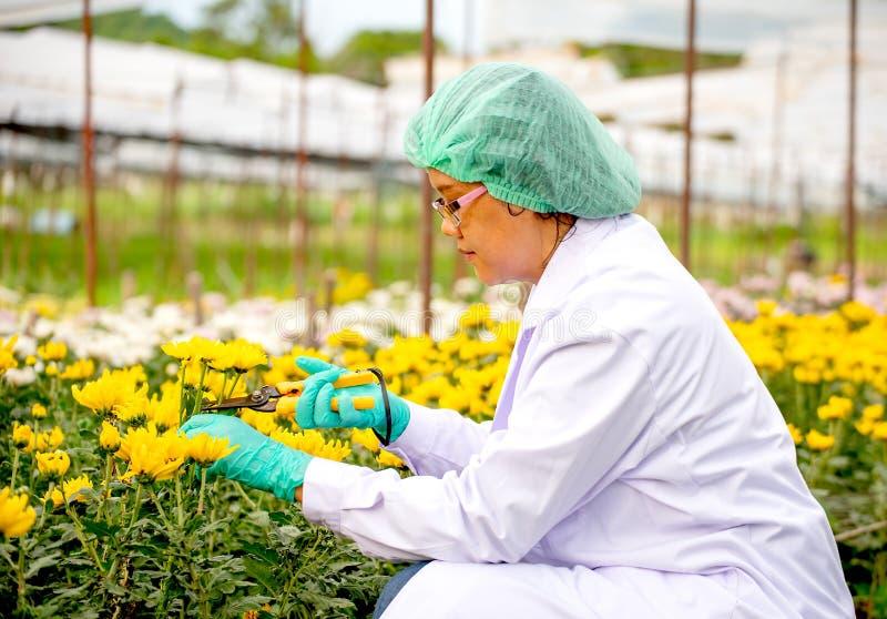 Forskarekvinnan med grönt huvudlock- och handskebruk scissor för att klippa filialer av den gula blomman under forskningexperimen fotografering för bildbyråer