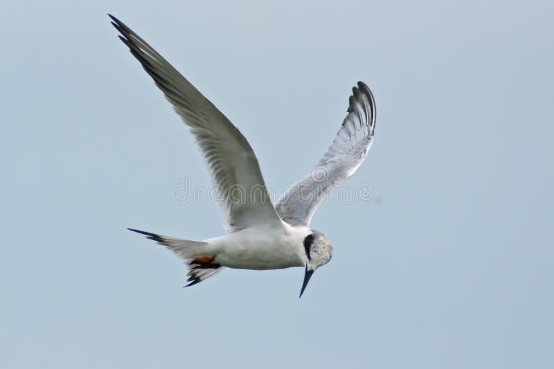 Forster   Andorinha-do-mar De S Fotos de Stock Royalty Free