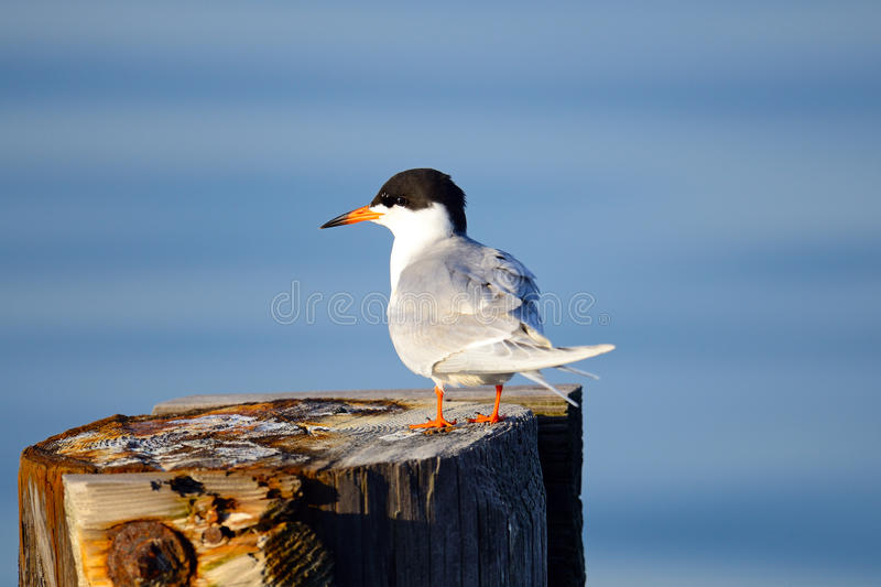 Download Forster's Tern stock photo. Image of wildlife, water - 19363368