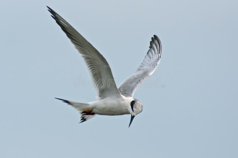 Download Forster's Tern stock photo. Image of flyby, fauna, migration - 22982918