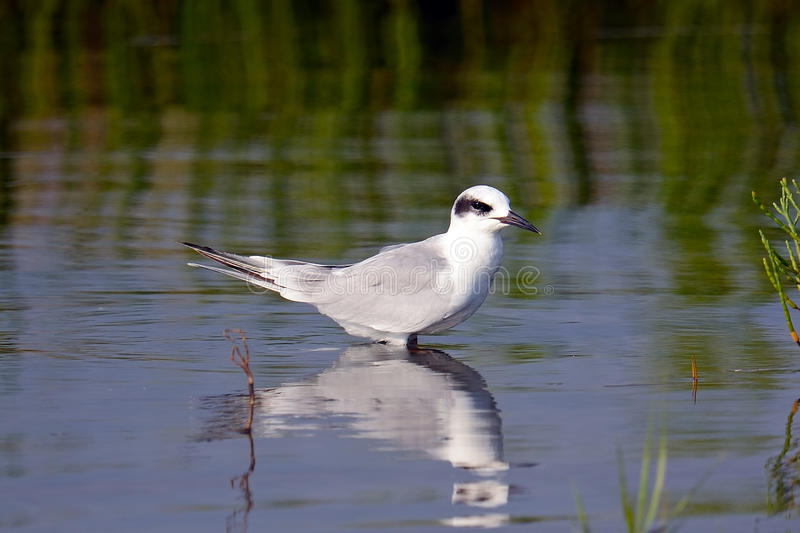 Download Forster's Tern Juvenile stock photo. Image of sterna - 20579906