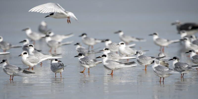 Forster's Tern seagulls op Hilton Head Island Beach, South Carolina stock foto's