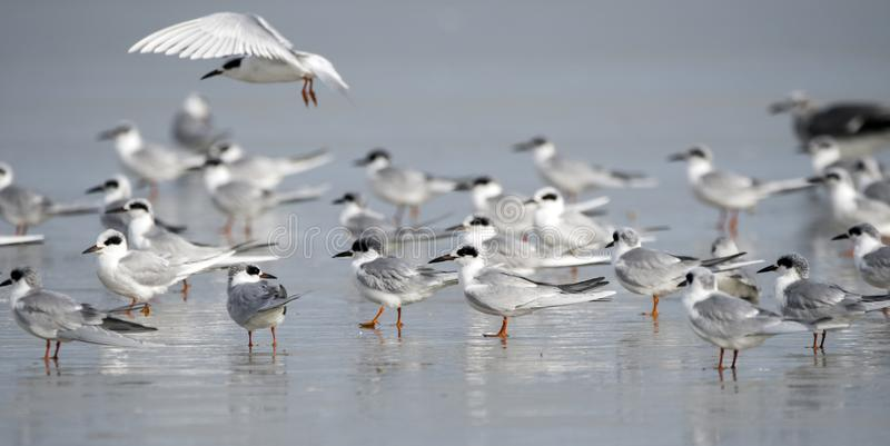 Forster`s Tern Seaguls auf Hilton Head Island Beach, South Carolina stockfotos