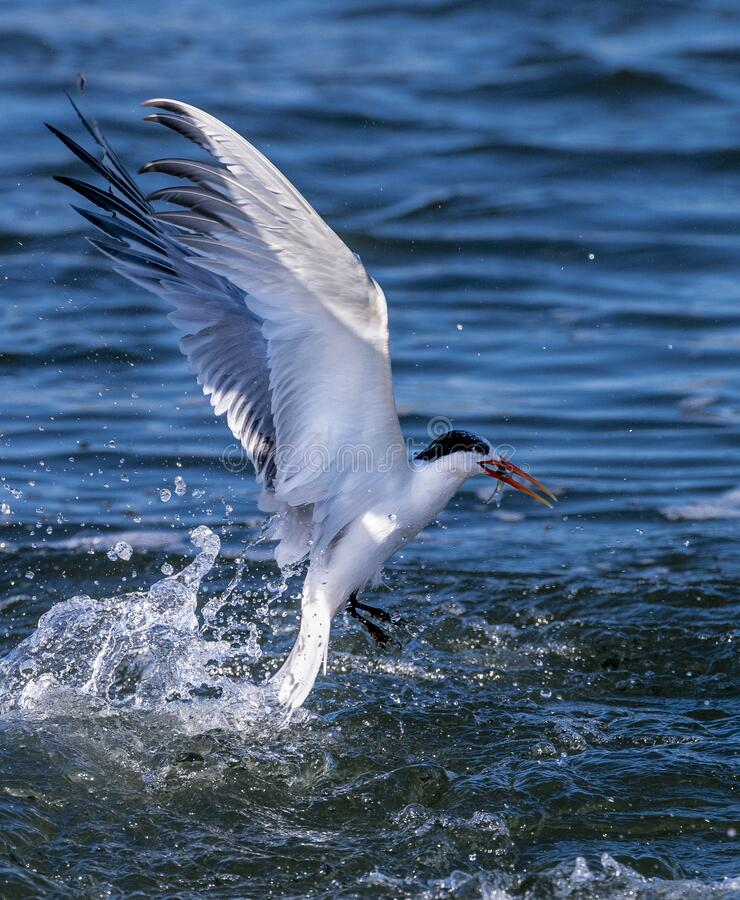 Forster`s Terns catching food royalty free stock image