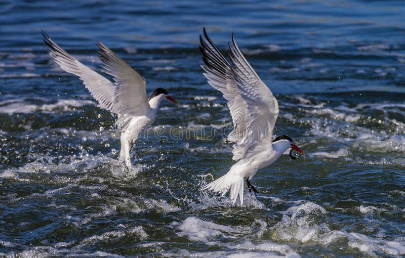 Forster`s Terns catching food stock photo