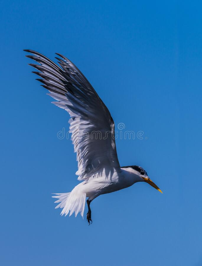 Forster`s Terns looking for food royalty free stock photos