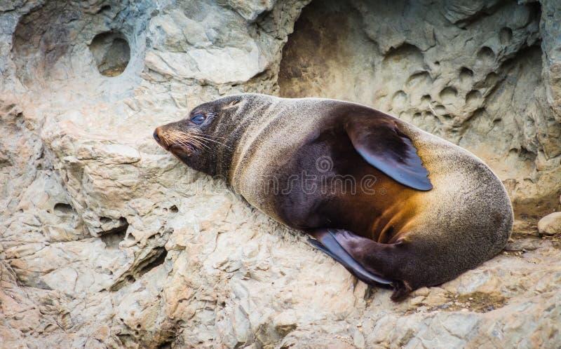 Forsteri котика морского котика в Новой Зеландии стоковая фотография