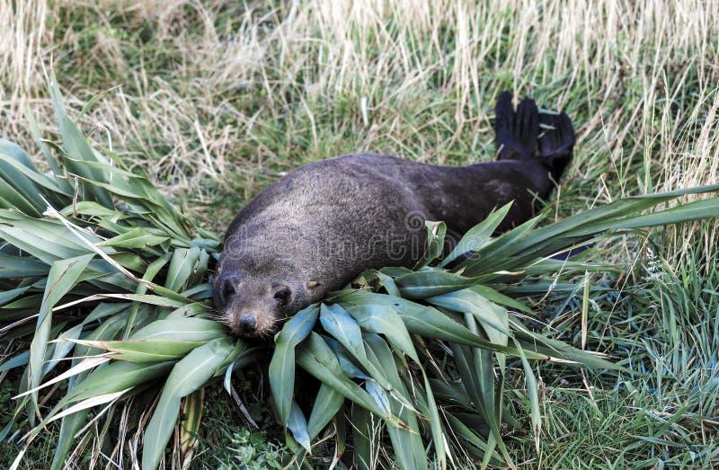 Forsteri котика морского котика Новой Зеландии отдыхая на кусте льна стоковые фото