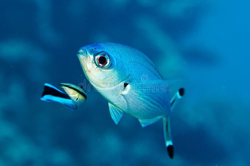 Forsteri de Paracirrhites, poisson de récif image stock