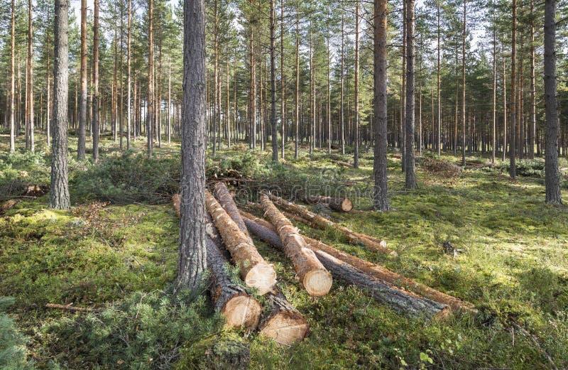 Forstwirtschaft im Kiefernwald in Finnland stockfotografie