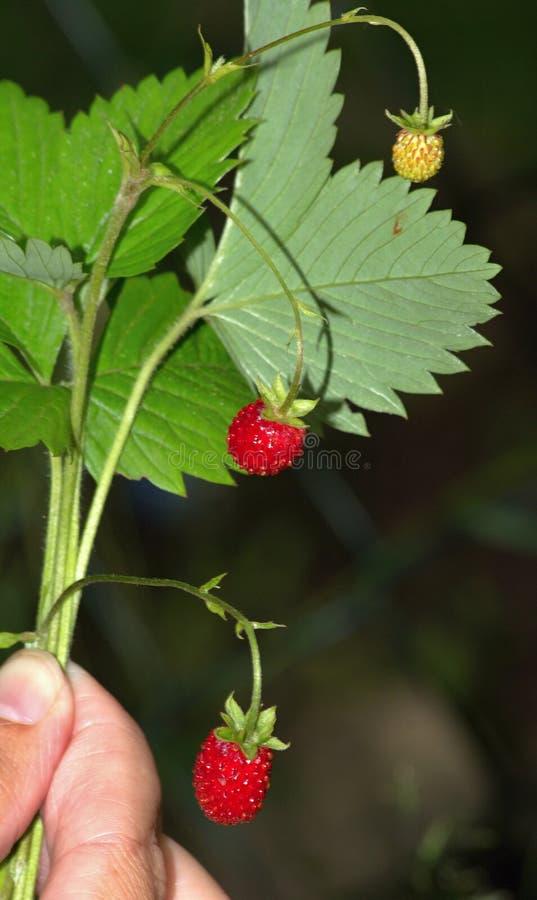 Forstwirtschaftserdbeeren stockfoto