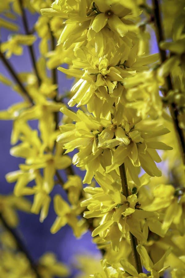 Forsycja kwiat fotografia royalty free