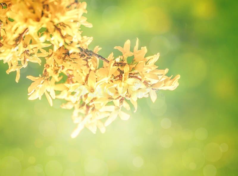 Forsycje kwitną przed zieloną trawą i niebieskim niebem z fotografia stock