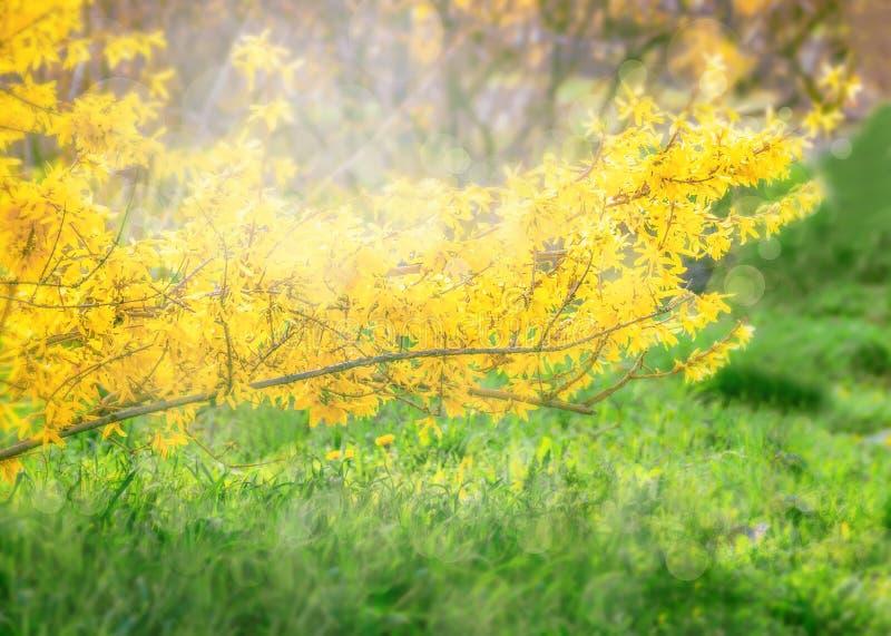 Forsycje kwitną przed zieloną trawą i niebieskim niebem z obrazy royalty free