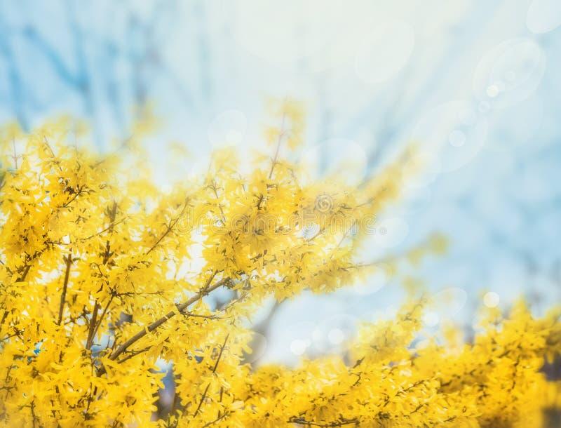 Forsycje kwitną przed zieloną trawą i niebieskim niebem z obraz royalty free