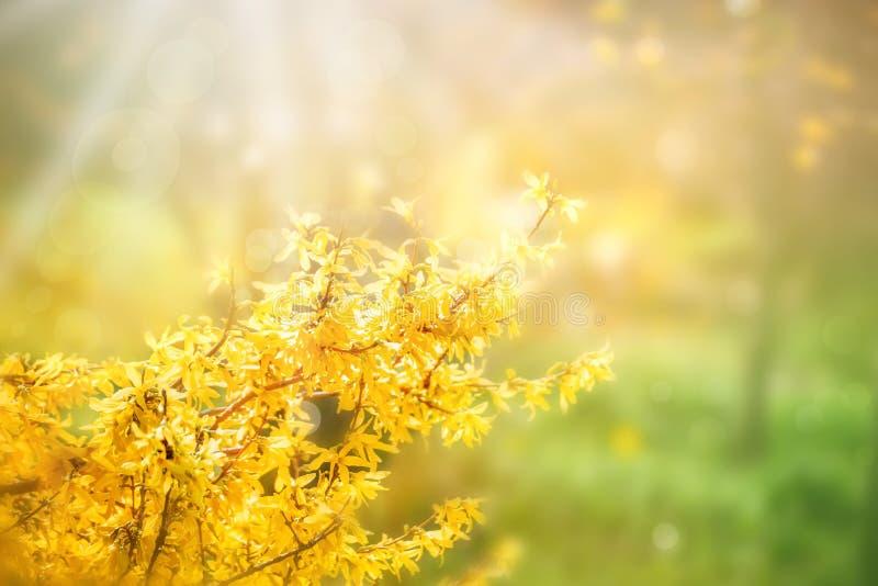 Forsycje kwitną przed zieloną trawą i niebieskim niebem z fotografia royalty free