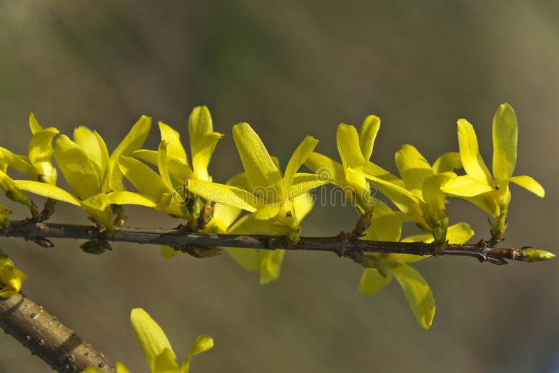 Forsythia, ο όμορφος Μπους άνοιξη με τα κίτρινα λουλούδια στοκ φωτογραφία