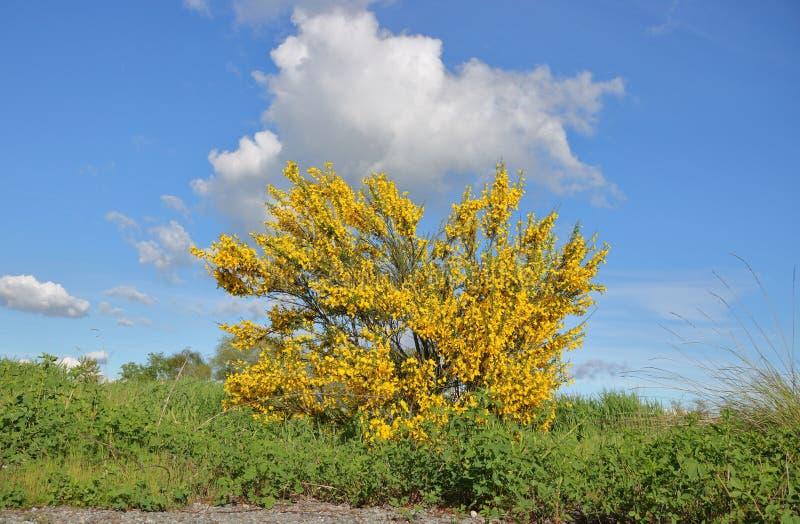 Forsythia Буш цветя весной стоковая фотография rf