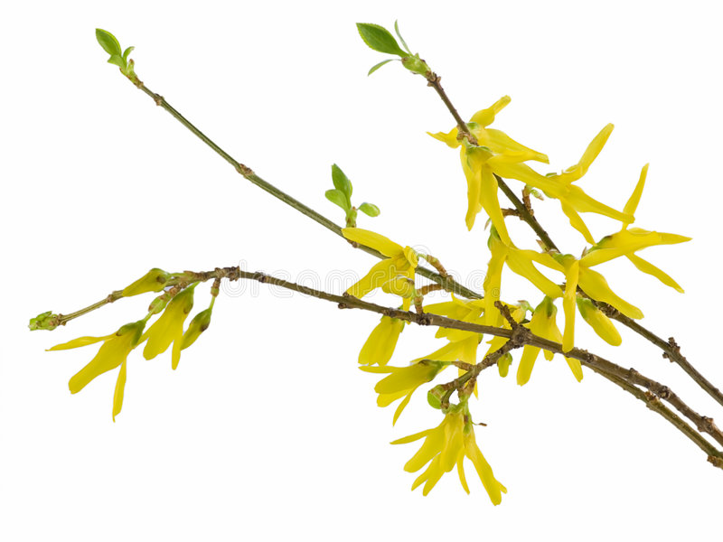 Forsythia stockfotografie