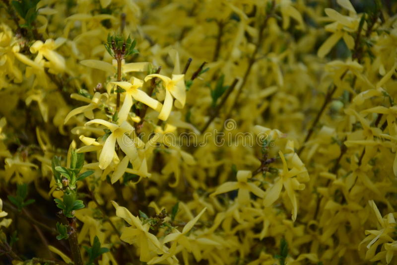 forsythia royaltyfri bild