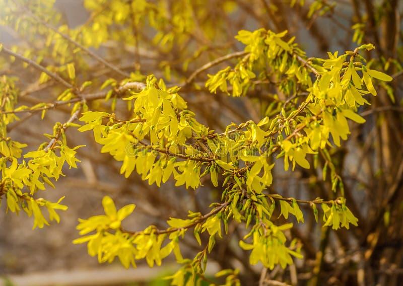 Forsythia blommar framme av med grönt gräs och blå himmel arkivbilder