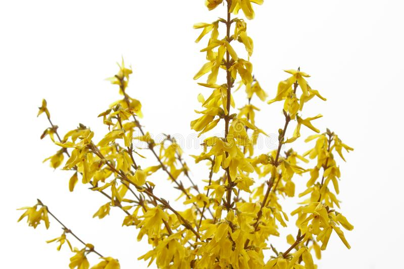 Forsythia bloom in the village after rain close-up. spring landscape, the revival of nature. yellow flowers on the olive tree royalty free stock photography