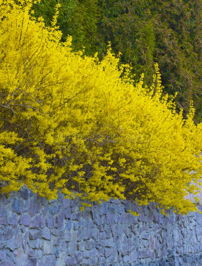 Forsythia a bush blooming in early spring bright yellow stock download forsythia a bush blooming in early spring bright yellow stock image image mightylinksfo