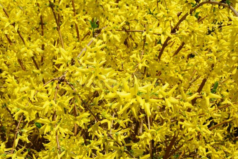 Forsythia or Easter tree blooming. Forsythia bush bloom. Flowering forsythia in springtime royalty free stock image