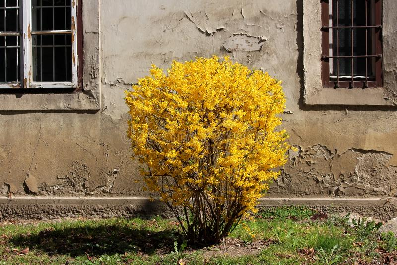 Forsythia or Easter tree flowering plant with dense bright yellow flowers growing in shape of small bush in front of cracked wall royalty free stock photography