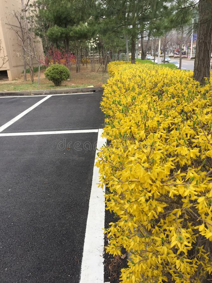 The forsythia fence in the apartment. stock image