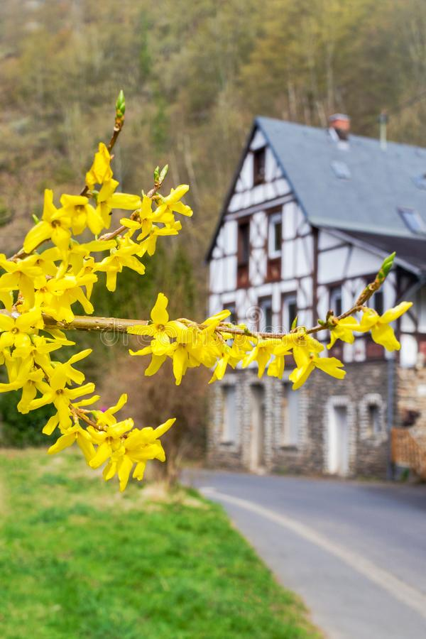Forsythia flowers in front of with green grass and european house. Golden Bell, Border Forsythia blooming in spring garden bush royalty free stock image