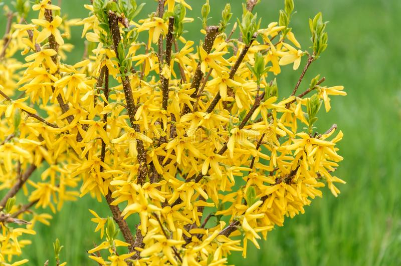 Forsythia flowers in front of with green grass. Golden Bell, Forsythia x intermedia, europaea blooming in spring garden bush.  stock images
