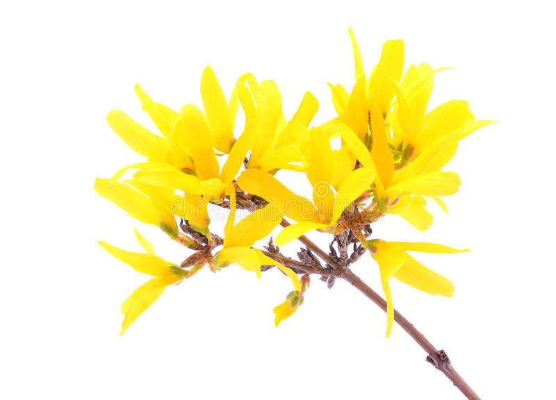 Forsythia flowers isolated on white stock images