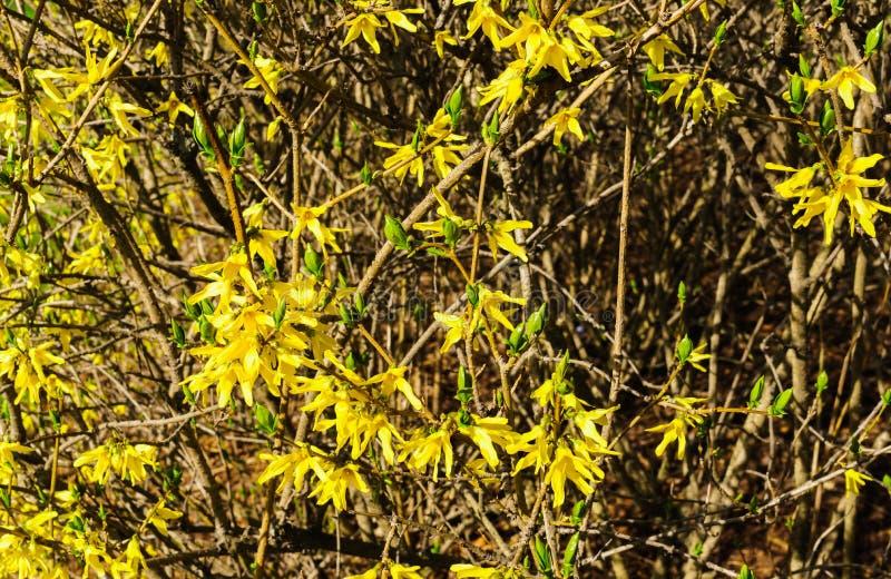 Forsythia gialla dei fiori in molla in anticipo dei rami nudi senza foglie fotografia stock