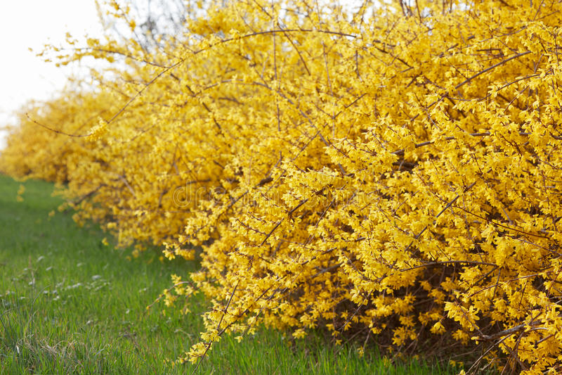 Forsythia gulingvårblommor royaltyfria foton