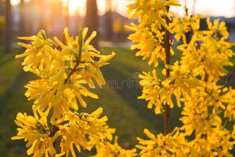 Forsythia is an ornamental deciduous shrub with yellow flower in backlit. Garden plant. stock photo