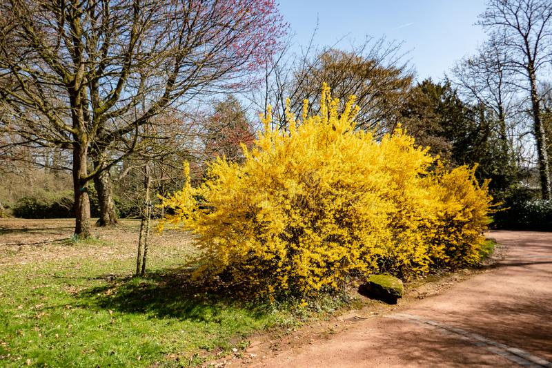 Forsythia plant in bloom by spring royalty free stock photos
