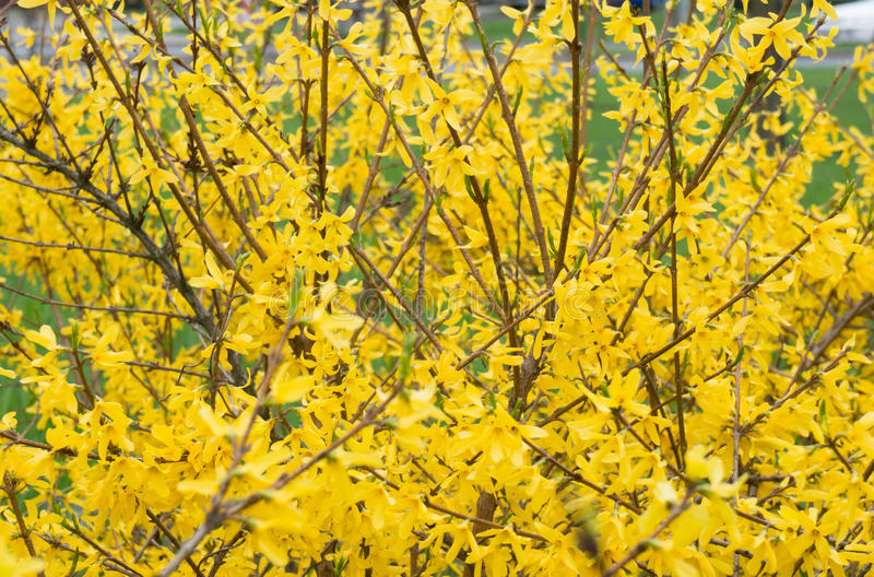 Forsythia plant royalty free stock images