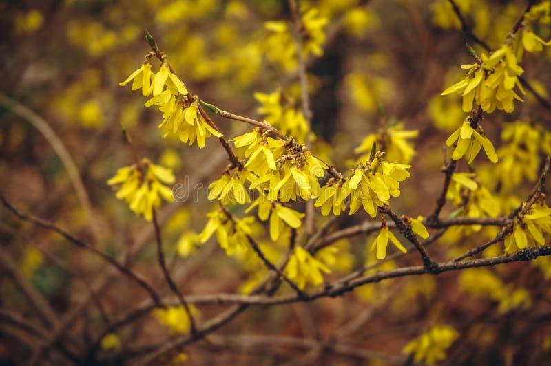 Forsythia planterar i trädgård arkivbild
