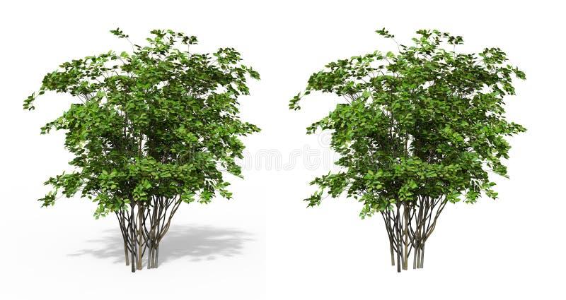Forsythia. A small tree, a shrub of the olive family stock photo