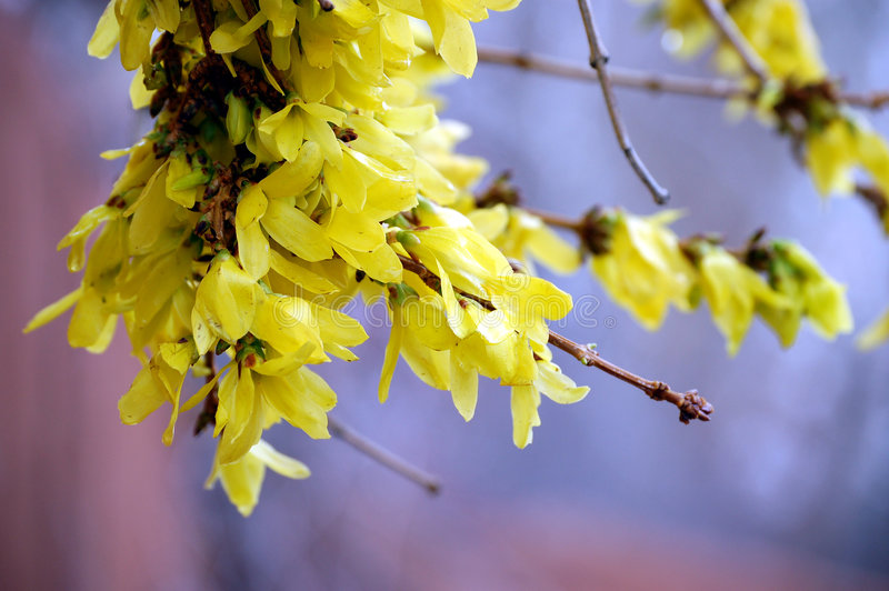 Forsythia in Spring. Bright yellow forsythia blossoms blooming after a spring shower royalty free stock photos