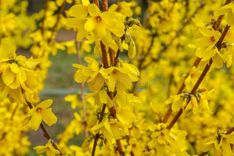 Forsythiabloemen voor met groen gras en blauwe hemel Gouden Klok, Grensforsythia royalty-vrije stock fotografie
