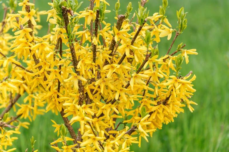 Forsythiablommor framme av med grönt gräs Guld- Klocka, intermedia för forsythia x, europaea som blommar i vårträdgårdbuske arkivbilder