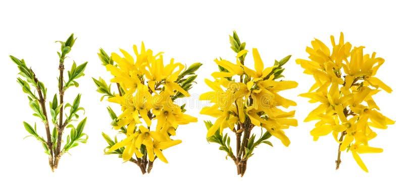 Forsythiablomning Våren blommar vit bakgrund royaltyfria foton