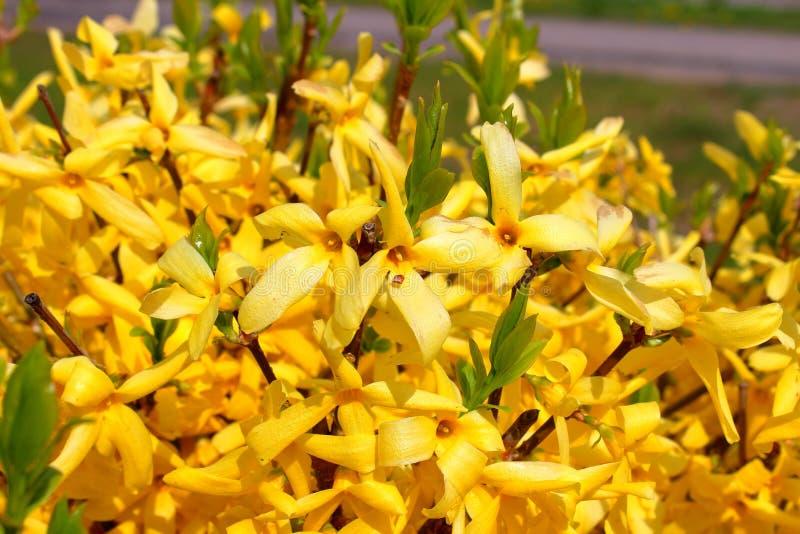 Forsythiaeuropaea geel in het park royalty-vrije stock fotografie